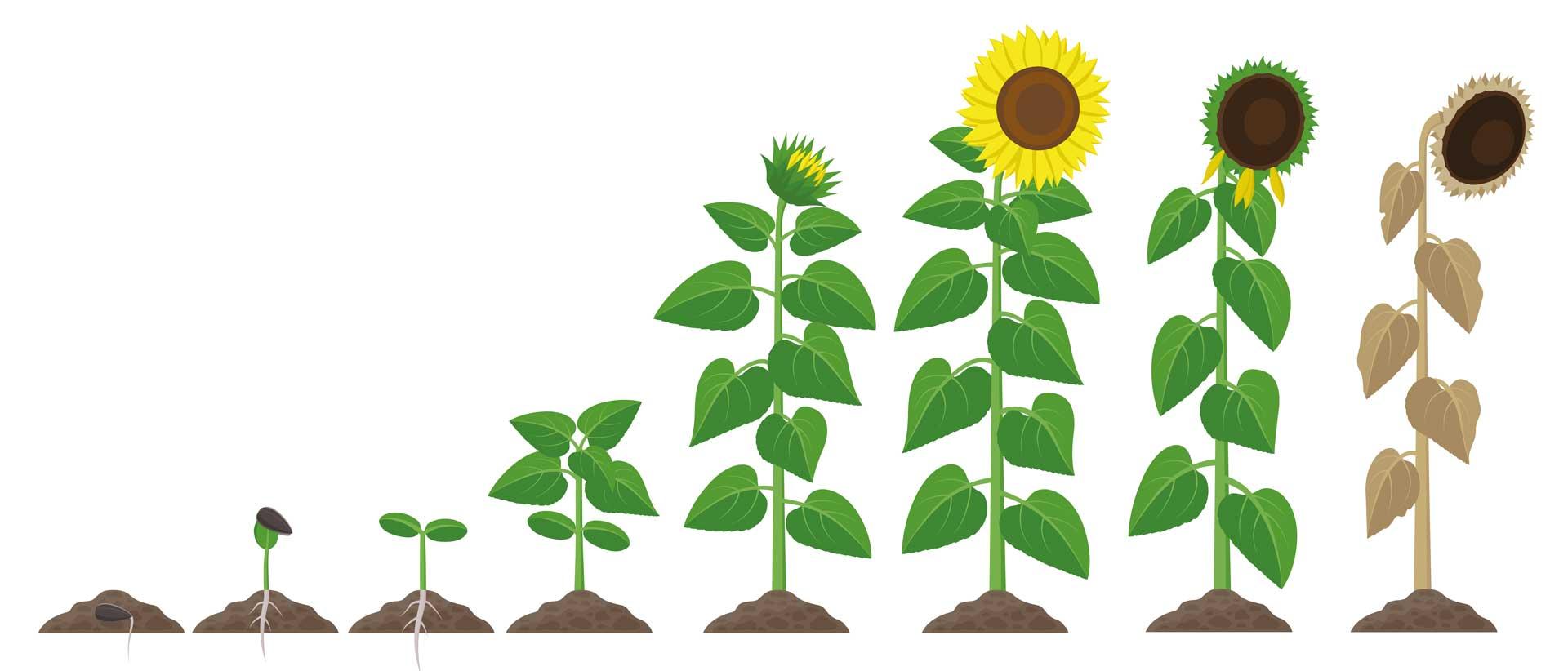 Sunflower growth