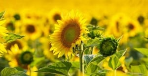 Sunflower crops