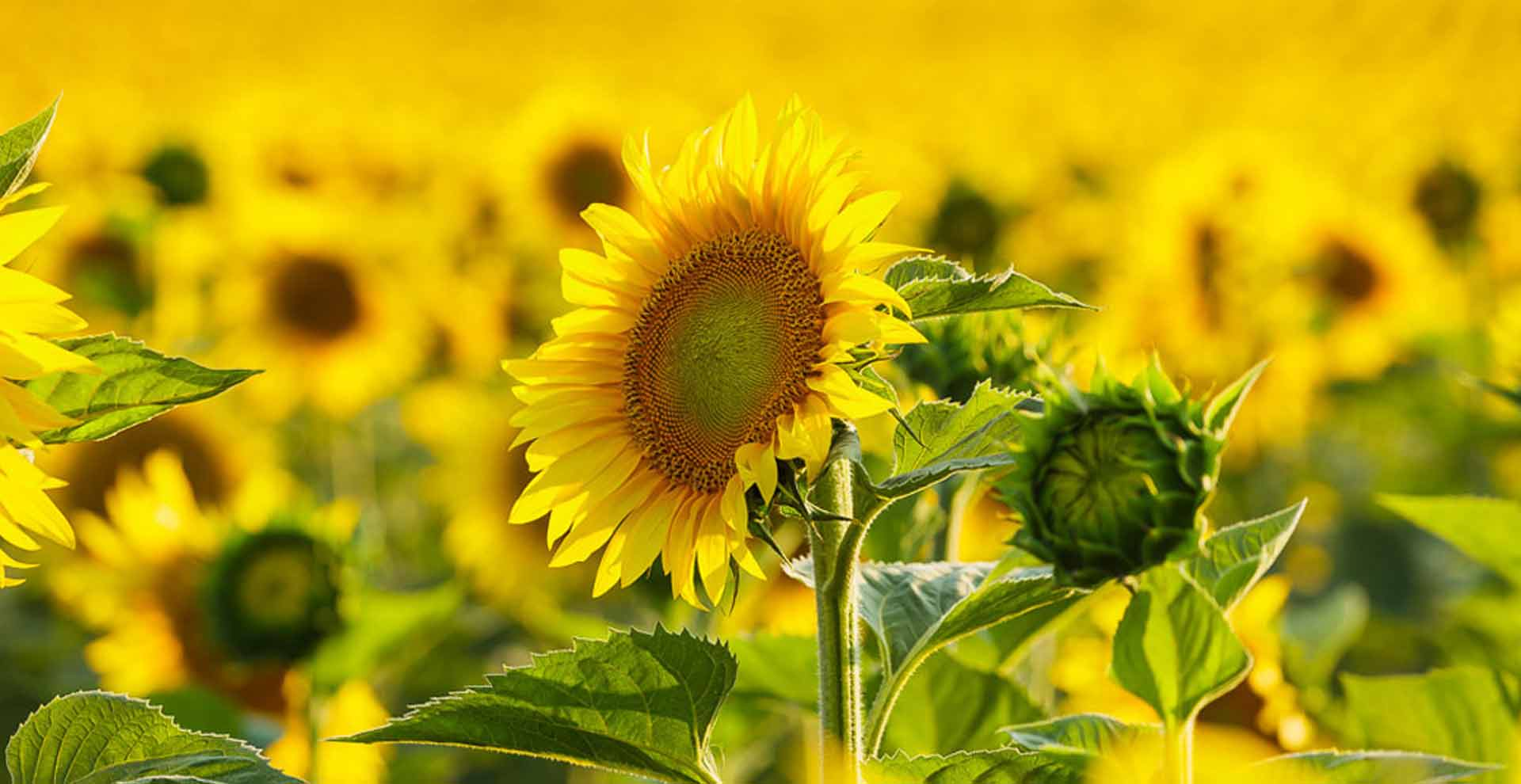Sunflower crops